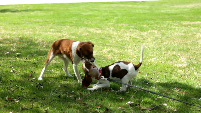 Two puppies playing together part 1 - HD stock footage clip
