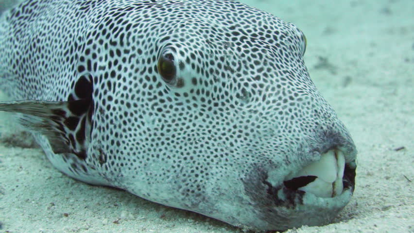 Starry puffer arothron stellatus resting on the sandy for Giant puffer fish