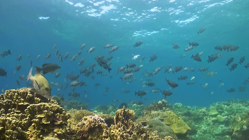 Black trigger fish and yellow tang swim among coral for Plenty of fish hawaii