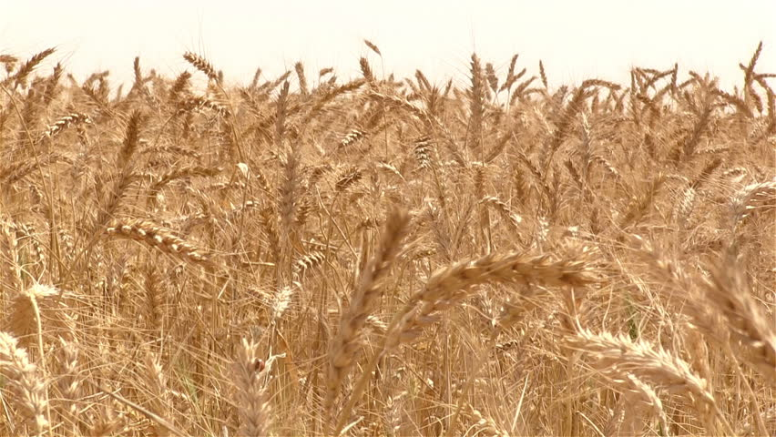 Wheat field. Close up of stalks of wheat swaying in the wind. Golden wheat.