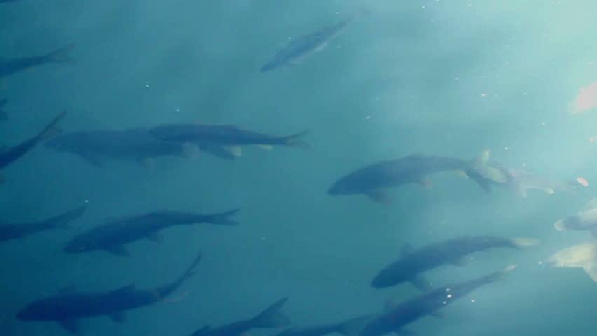 Carp swim in a serene ornamental garden fish pond stock for Ornamental pond fish inc