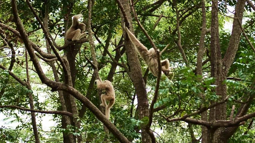 Family White Cheeked Gibbon or Lar Gibbon