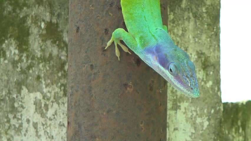 """Green and blue Chameleon / Cuban Knight Anole. Push-ups and head bobs, color change, display of colorful throat """"fans""""--that's how anoles communicate. - HD stock video clip"""