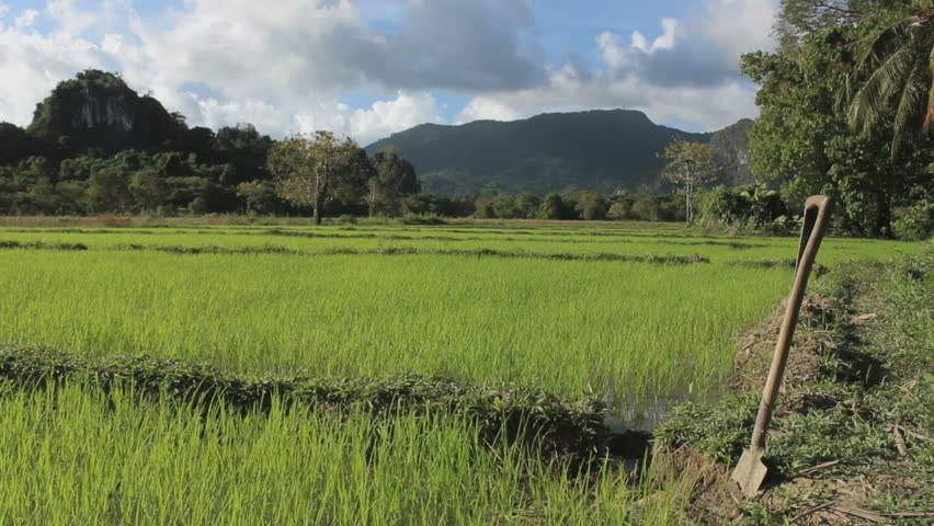Green rice terraces in the jungle