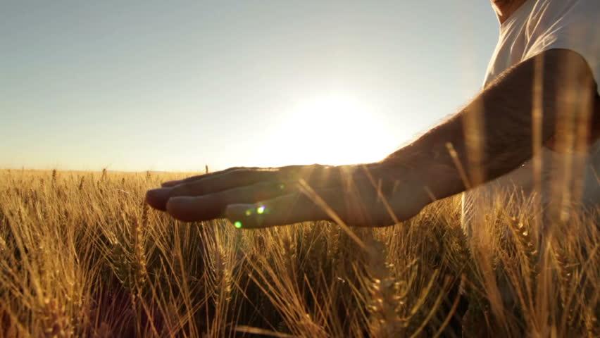 hands of farmer in wheat field gently touching wheat ears  - HD stock footage clip