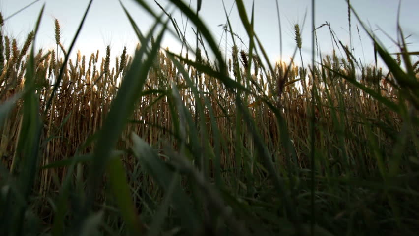 crane shot from bottom to top of huge ripe wheat field