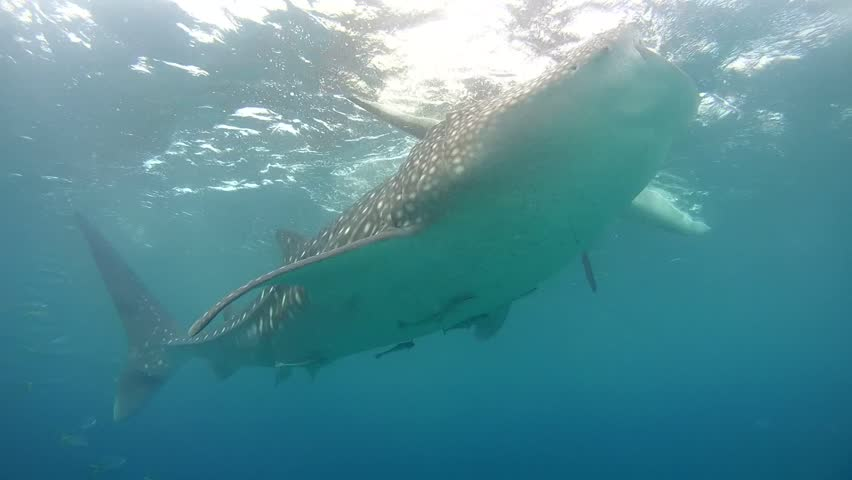Whale shark (Rhincodon typus) eating krill below the water surface - Oslob, Cebu, Philippines, Southeast Asia - HD stock footage clip