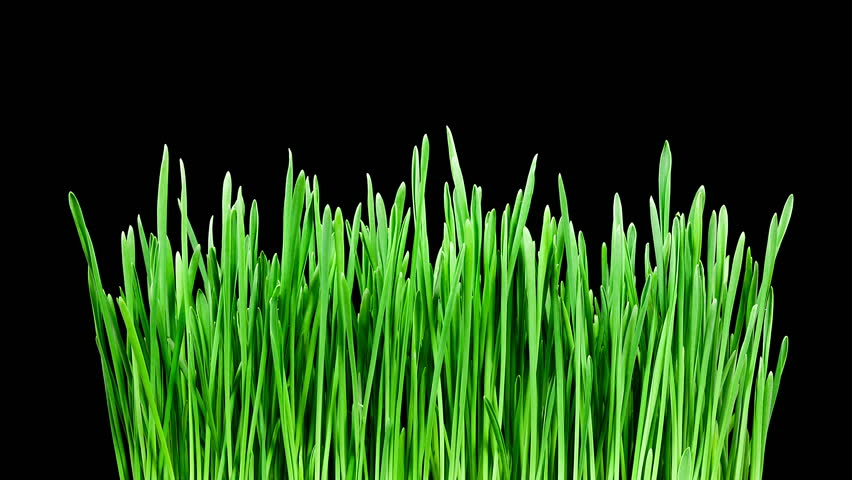 Barley grass, wheatgrass, sprouting and growing timelapse on black background in 4K (4096x2304)