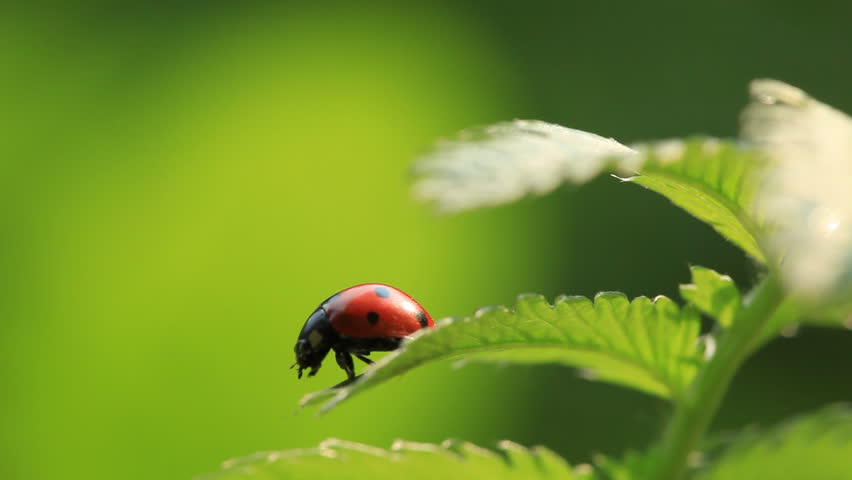 Ladybug on green fresh leaf. Close-up - HD stock footage clip