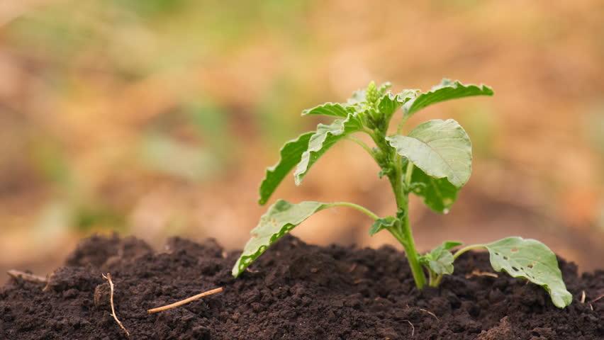 Green grass drying in vegetable garden. Shallow focus depth on plant