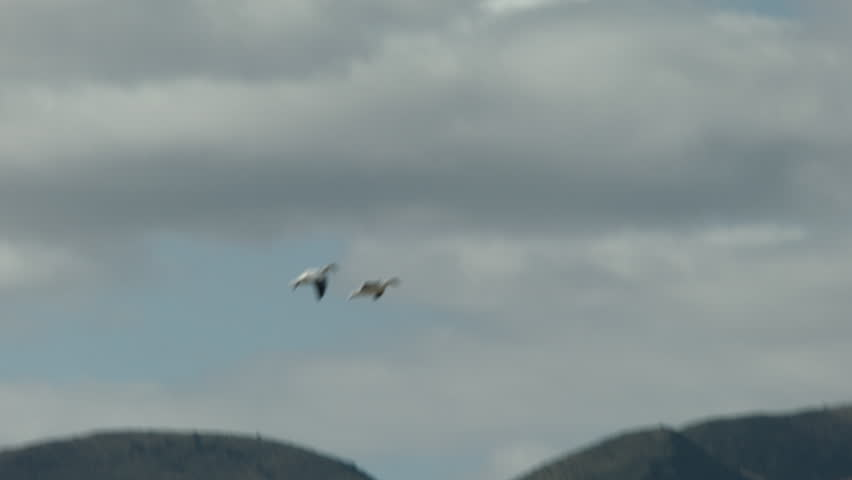 snow geese going in for a landing at bosque del apache nm. shot on a bmcc - HD stock video clip
