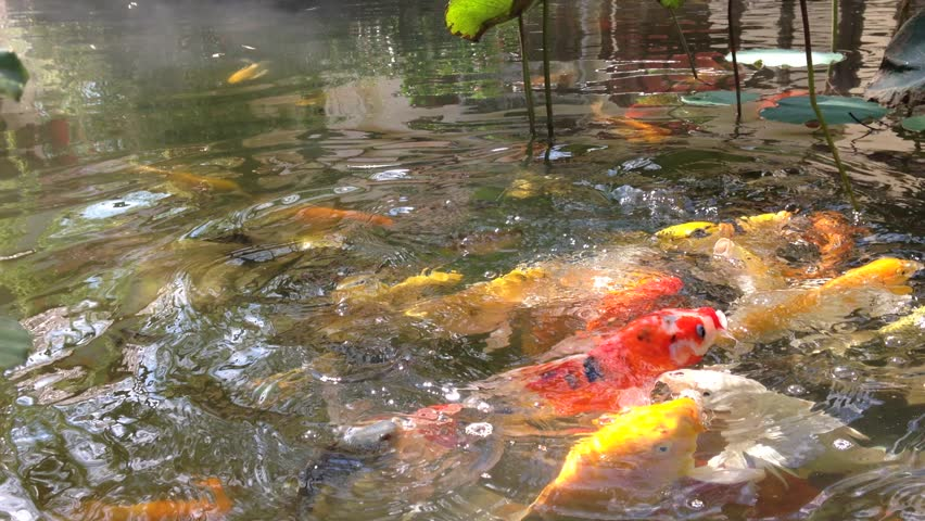 Koi fish japan fancy carp swimming in pond stock footage for Koi fish to pond ratio