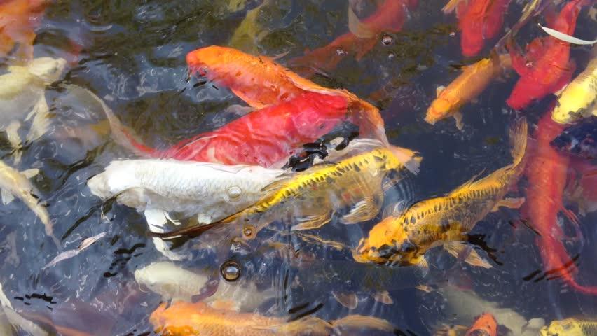 Koi fish japan fancy carp swimming in pond hd stock for Koi fish pond hd