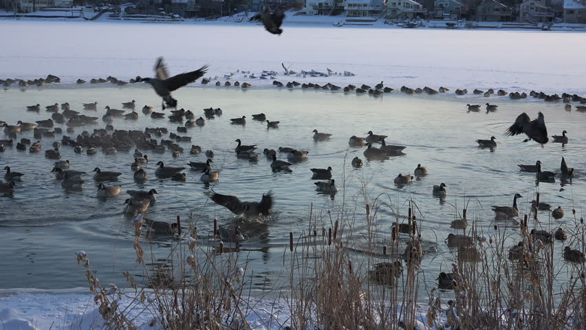 Geese Landing Shot/ Geese landing into hotspring caught on camera. - 4K stock footage clip