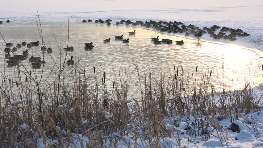 Geese in Hotspring Close-up View/ Close-up view of geese swimming in frozen hotspring.   Shutterstock HD Video #8582578