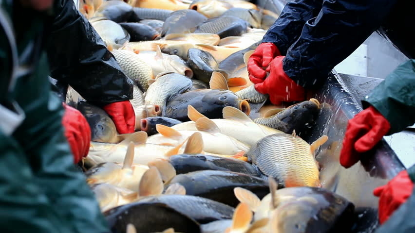 Freshwater Fish on the line for selection ; Fishing industry workers classify fish caught,video clip in close up | Shutterstock HD Video #8611270