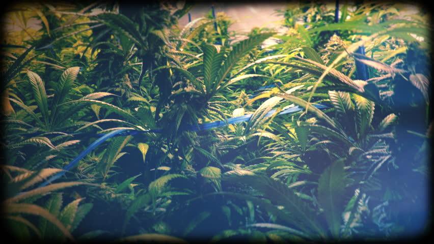 Moving Through Indoor Marijuana Plants with Vintage Film Look