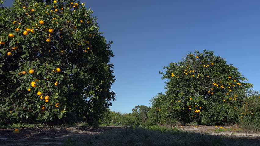 Florida citrus ripens on citrus trees in grove in light  breeze.  Early morning.