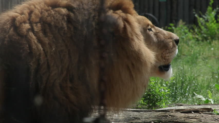 Beautiful mature lion roaring at Zoo, wildlife reserve, wild animal, chain, head close up   Shutterstock HD Video #8620639