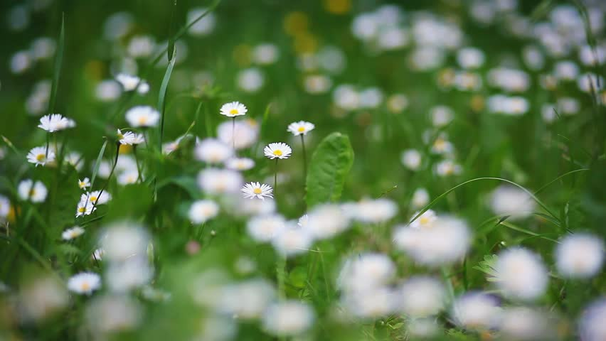 Summer field with white daisies. HD video (High Definition)