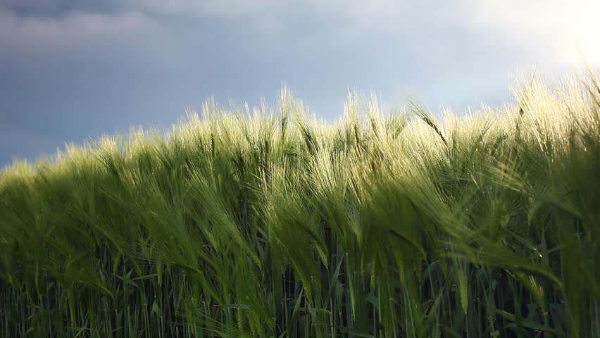 Wheat field ripening in a sunny day. Dramatic overcast sky. Ukraine, Europe. Beauty world. HD video (High Definition)