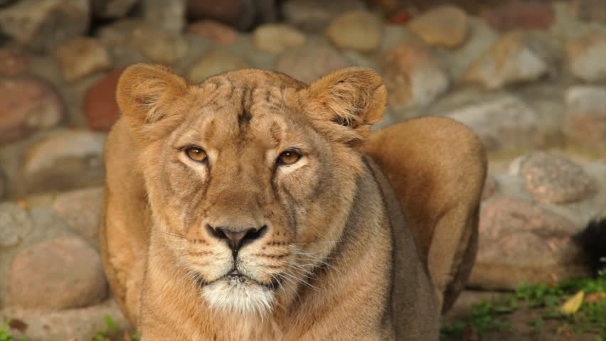 Following look of adorable lioness in sunset soft light on boulder background. Biggest cat of the world, horoscope and zodiac symbol close up. Amazing beauty of the wildlife in the excellent HD clip. - HD stock footage clip