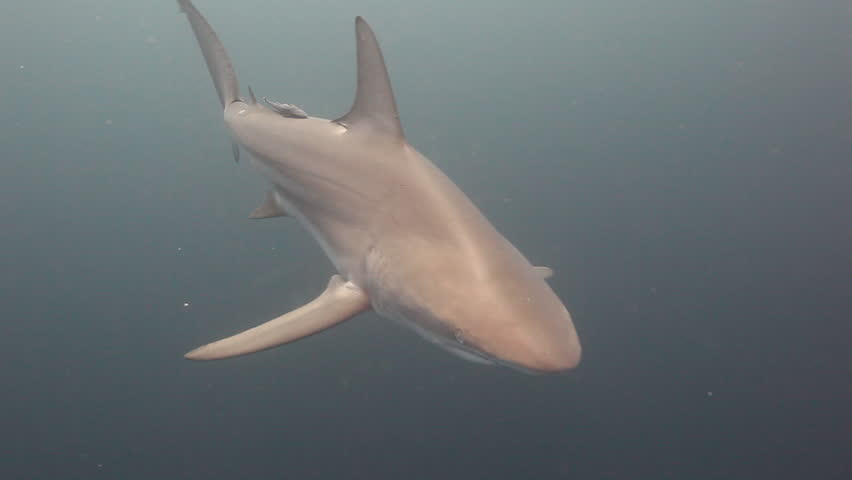 black tip shark bite - photo #11