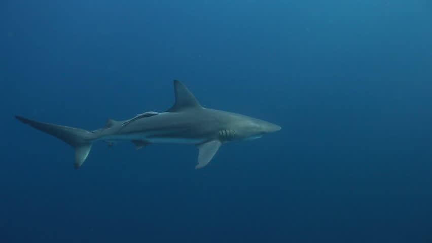 Oceanic blacktip sharks (Carcharhinus limbatus) and remora swimming on the Protea Banks reef in the Indian Ocean off the east coast of KwaZulu-Natal, South Africa - HD stock video clip