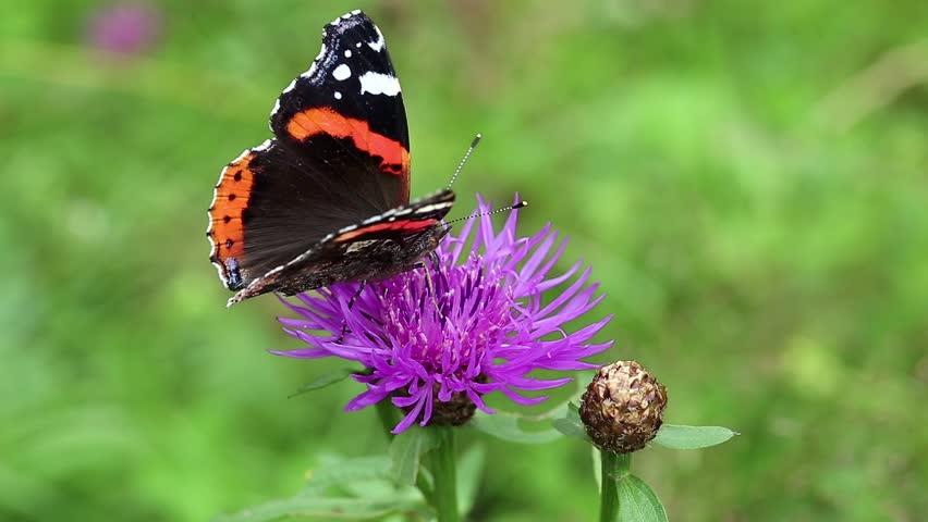 Beautiful butterfly on the purple flower - HD stock footage clip