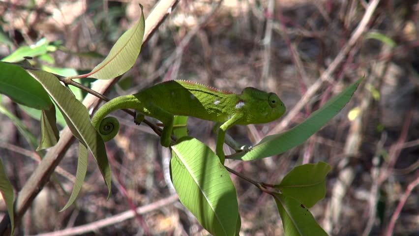 graceful chameleon at the back-up area of Madagascar Fianarantsoa, Madagascar July 2014 Recorded at progressive 50p - HD stock footage clip