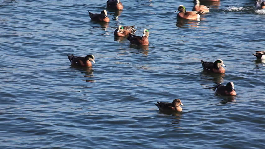 Header of American wigeon