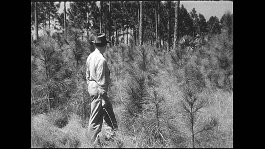 UNITED STATES 1940s: Man walks through field of young trees. - HD stock video clip