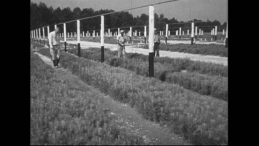 UNITED STATES 1940s: Men walk through tree farm / Rows of saplings / Close up of hand touching sapling / Men plant trees. - HD stock video clip