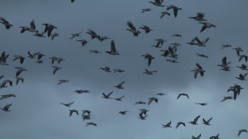 geese - HD stock footage clip