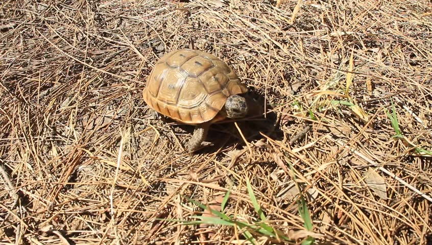 Baby turtle walking on forest floor covered by dried pine needles and leaves. Testudo graeca, Spur-thighed tortoise. Desert tortoises lifespan varying from 50 to 80 years