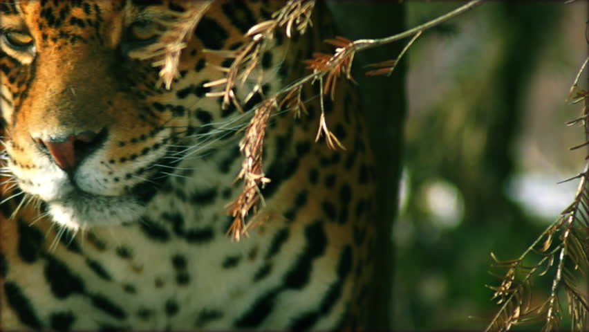 Close-up of a female jaguar (Panthera onca,), slow motion. #8914228
