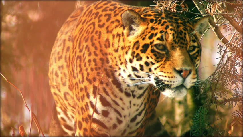 Close-up of a female jaguar (Panthera onca,), slow motion. #8914255