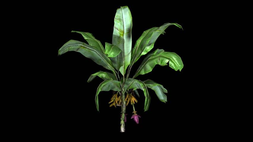 banana plant in wind - black BG  - HD stock video clip