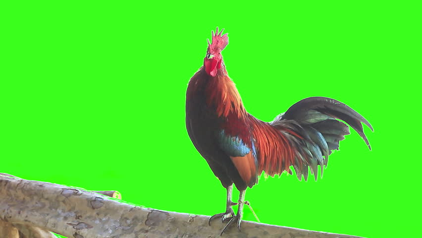 Bantam rooster crows at Chiang Mai Thailand, green screen 1920x1080 | Shutterstock HD Video #8947393