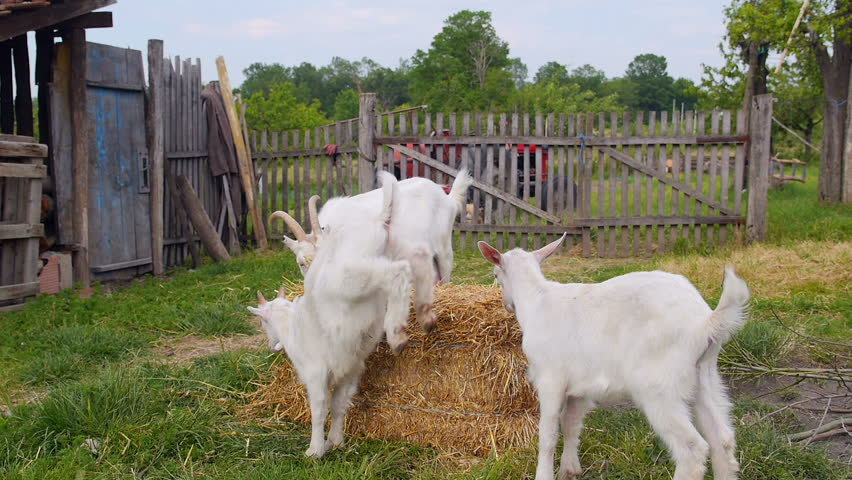 Goat family playing on a farm and eating hay. - HD stock footage clip