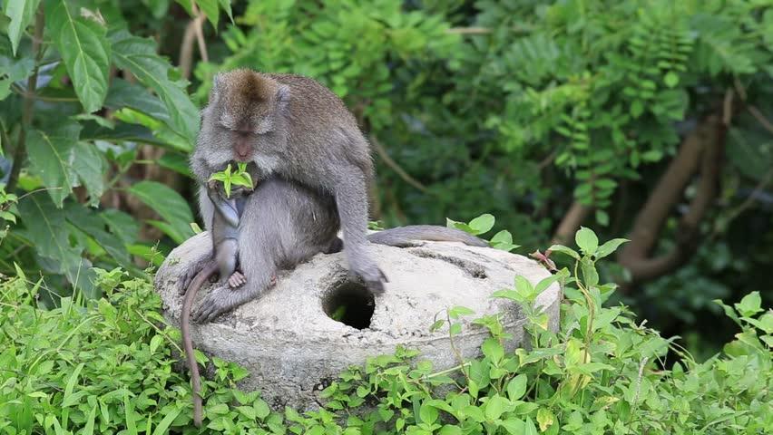 two monkeys plucking fleas stock footage video 3375785 shutterstock. Black Bedroom Furniture Sets. Home Design Ideas