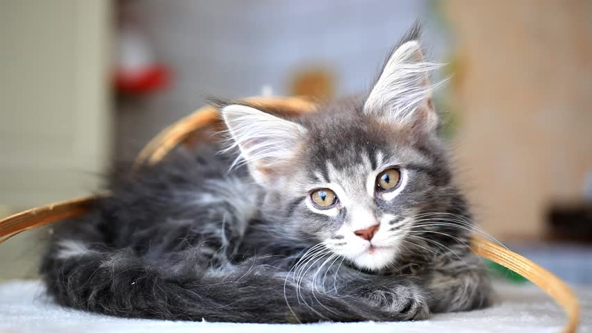 Blue tabby color Maine coon kitten. HD. 1920x1080 - HD stock footage clip