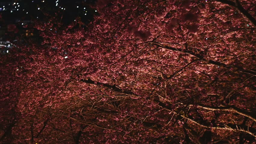 Pan view of illuminated cherry blossoms and out of focus city lights in the background. | Shutterstock HD Video #9025711