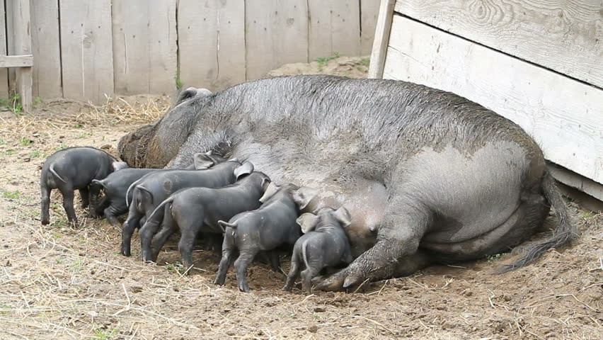 Young pigs eating eagerly on the mother sow as she lays on the ground. The piglets are fighting over her nipples for nourishment and food. Not yet weaned. Very large female pig sow. Farm. - HD stock video clip