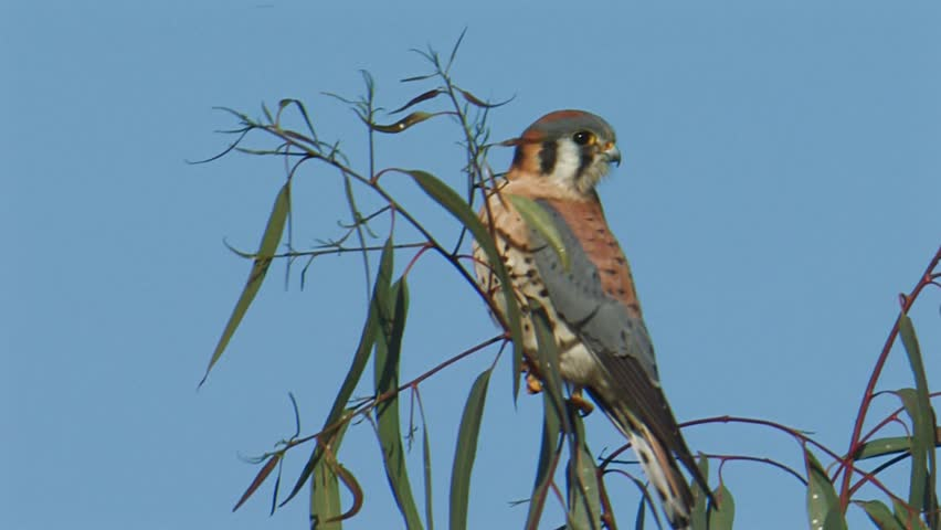 Header of American kestrel
