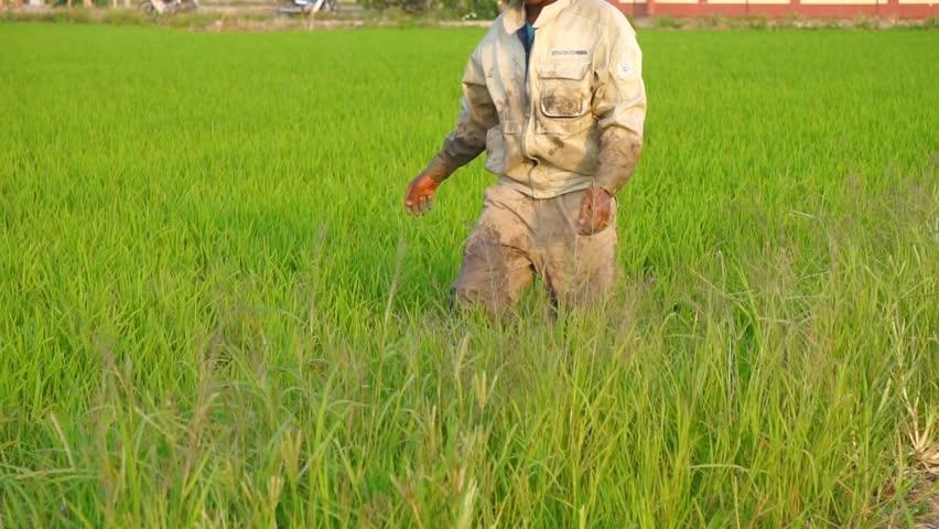 KUALA LUMPUR, MALAYSIA - 28 February 2015 : Bangladeshi workers at Malaysian paddy plantation. Malaysian farmers have resorted to hiring Bangladeshis to overcome labour shortage.