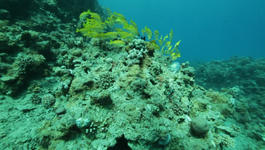Bluelined snappers at the coral reef in the Red Sea. | Shutterstock HD Video #932335