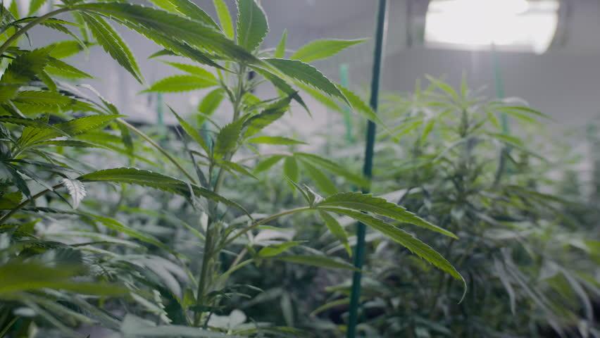 Marijuana plants under lights in a grow room