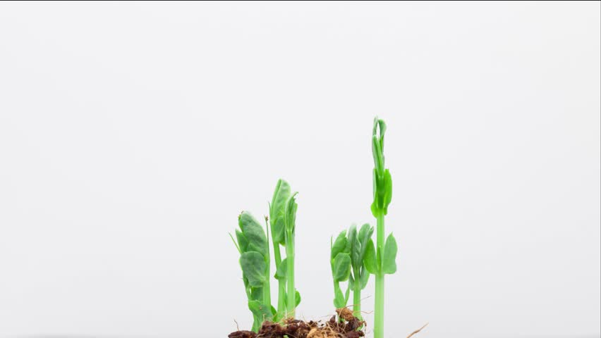 The growth of pea sprout on a white background timelapse