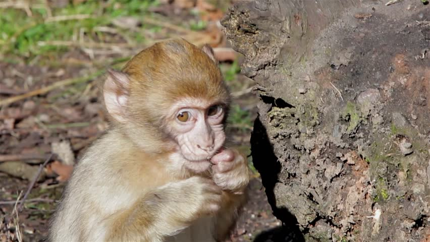 Baby Monkey Eating from Ground - Barbary Macaques of Algeria & Morocco  Forest woodland gardens meadows Backgrounds  Location: Trentham Staffordshire UK Source: Canon 5D Mkiii Date: 21 March 2015